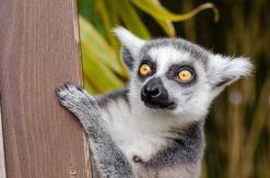 lemur-1045220_640