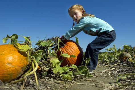 A young girl tries to pull out a pumpkin