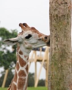giraffe-2072094_640