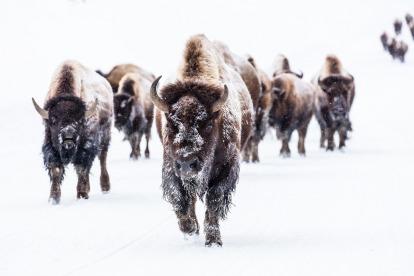 bison-2237654_1920